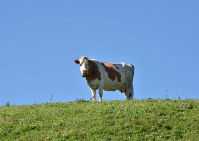 Vache la pose